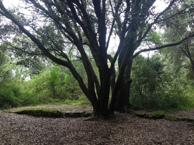 Alzines esponeroses al bosc de Les Estunes